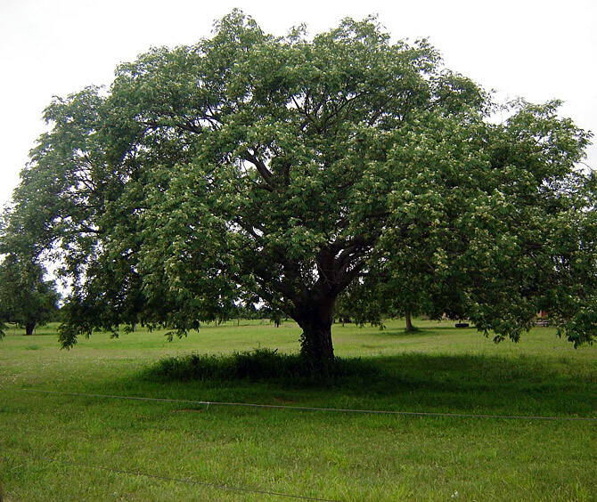 Caracteristicas de la madera de parota o huanacaxtle for Caracteristicas de arboles frondosos
